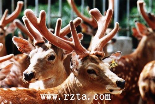 贵重鹿茸已长成,汉高山庄迎来采割季