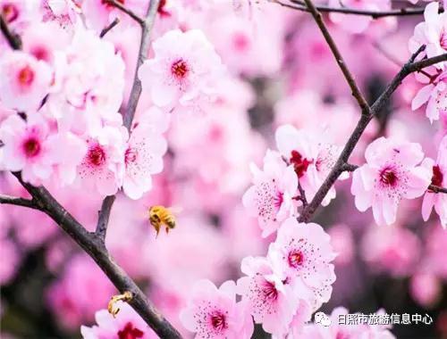 《风雨舟前落花绝句》  观赏时间:4月中旬  (1)赏花地点:日照桃花岛