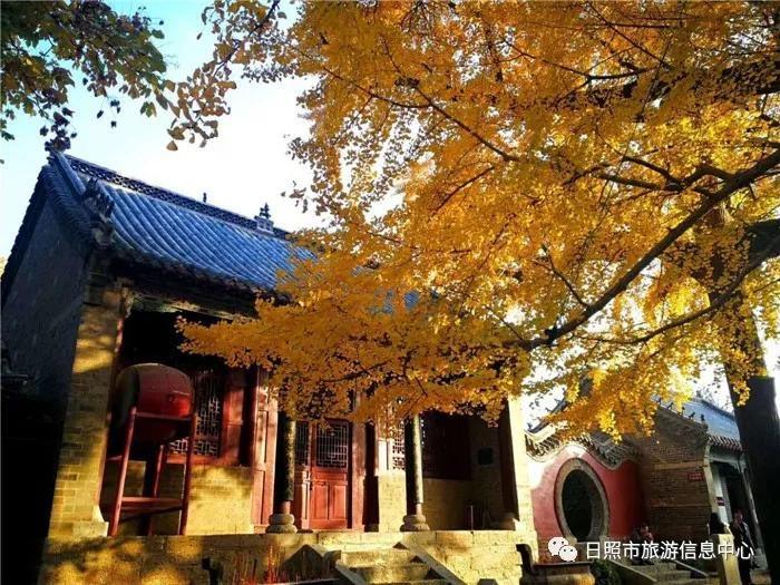 浮来山风景区千年银杏树进入最美观赏期.